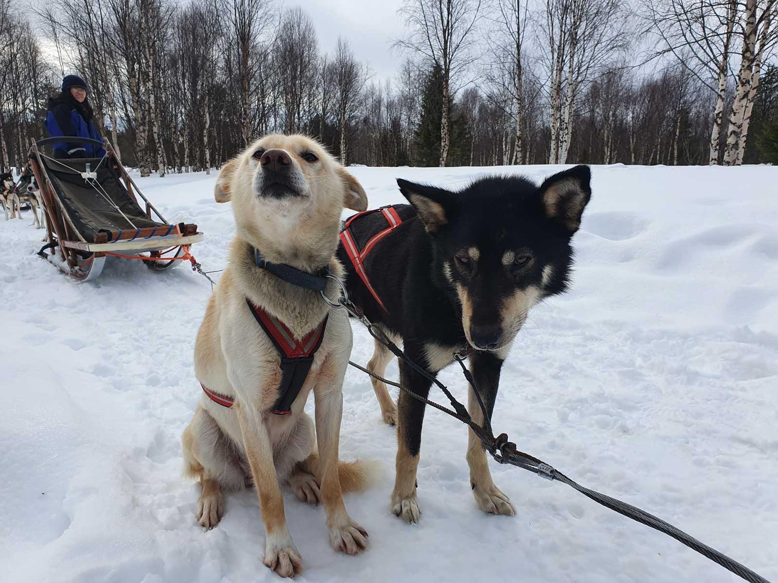 Alaskan huskies Scrappy and Tami.