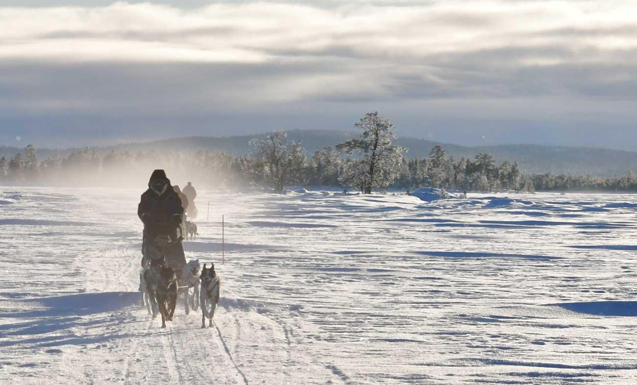 Snowy husky sledding.